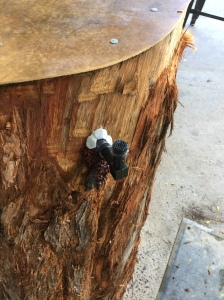 This tallowood log has been rescued and restabilised, John has inserted a ventilation and cap to prevent the bees from exiting whilst it is being transported to its new location.